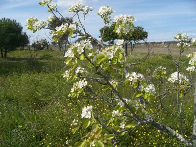 Peral en primavera